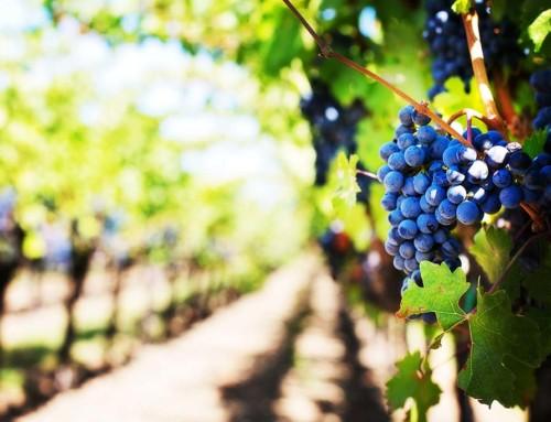 Come nasce il vino